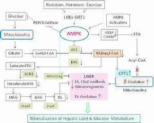Hepatic Regulation Of Lipid And Carbohydrate Metabolism
