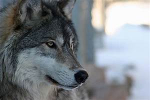 """Wolf profile 