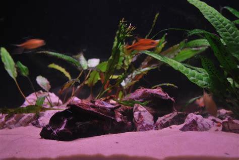 juwel rekord 600 aquarium day 8 uk aquatic plant society