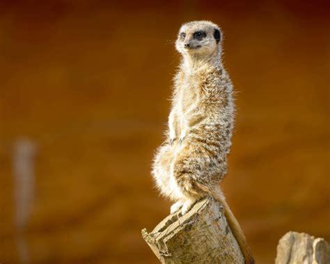 meerkat facts diet habitat pictures  animaliabio