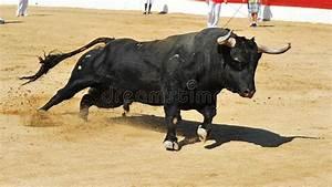 Running Bull Stock Image  Image Of Livestock  Danger