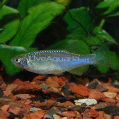 1000 images about tetras danios rasboras on Pinterest