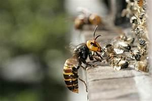 Killer Hornet  Britain On Alert For Invasion By Huge Beasts