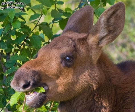 baby moose mouthing  blog   american student