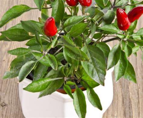 coltivare peperoncino in vaso coltivare il peperoncino in vaso idee e consigli per