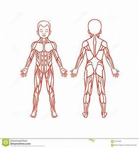 Anatomy Of Children Muscular System  Exercise And Stock