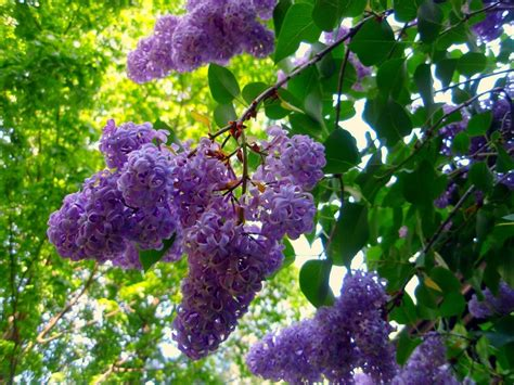 lilac bush lilacs auntie dogma s garden spot