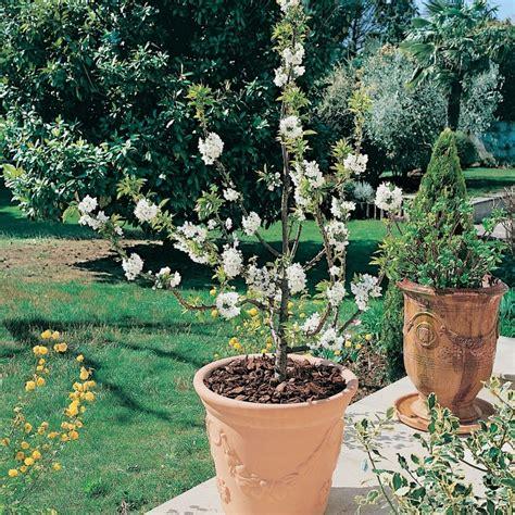 cerisier du japon en pot cerisier nain garden 174 en pot plantes et jardins