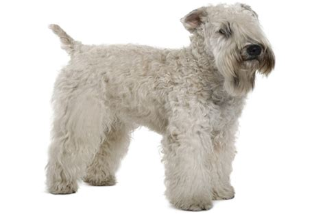 non shedding dogs ireland top 10 breeds petguide