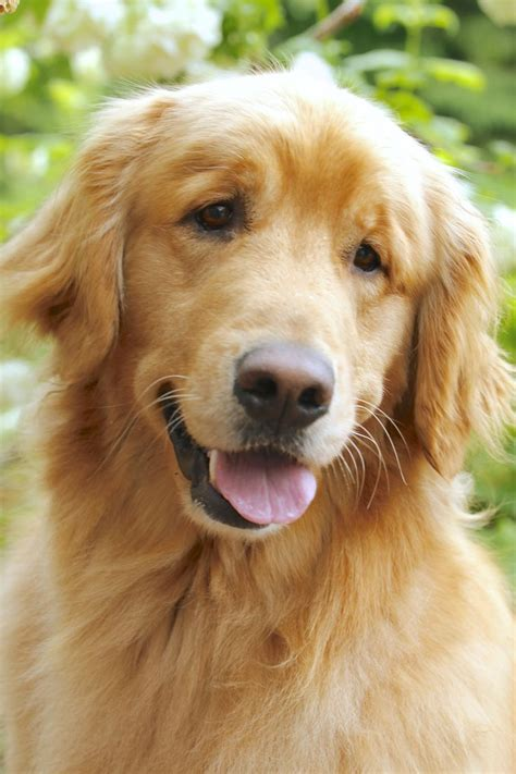 14483 Best Images About Group Golden Retrievers Best