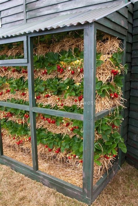 strawberry gardening 1000 images about strawberries on pinterest gardens pvc pipes and water water