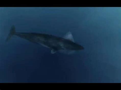 giant megalodon shark caught  camera  epic proof