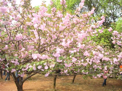 cherry tree flowers japanese cherry trees www imgkid com the image kid has it