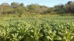 Image Gallery harvesting and curing tobacco