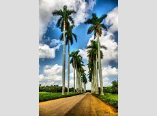 National Tree Of Cuba Palma Real 123Countriescom