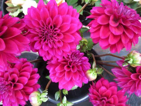 sammys flowers  season dahlias