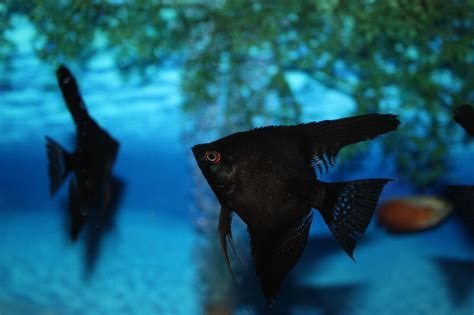 absolutely fish photo gallery freshwater angelfish