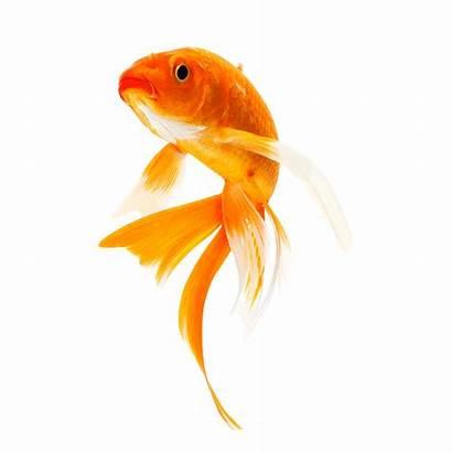 Fish Goldfish Koi Freshwater Transparent Pluspng Animal