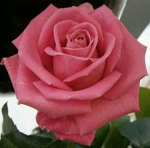 Langage Des Fleurs Pivoine : pingl par kishor kadam sur roze pinterest rose rosier et belles fleurs ~ Melissatoandfro.com Idées de Décoration