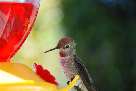 file hummingbird trochilidae at a feeder full of red