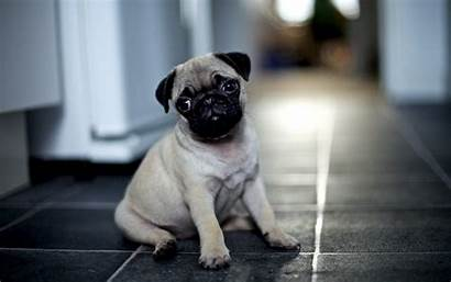 Pug Wallpapers Puppies Sad Face Dogs Puppy