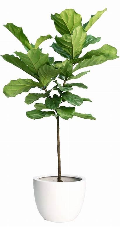 Fig Fiddle Leaf Tree Vaexter Groena