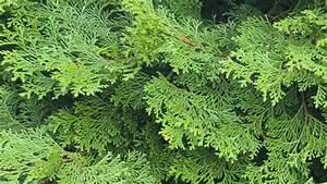 Sichtschutz Immergrün Winterhart : giftige heckenstr ucher thuja buchsbaum und co ~ Markanthonyermac.com Haus und Dekorationen