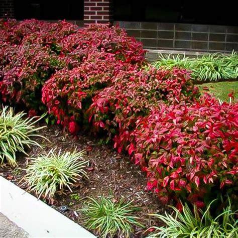 evergreen flowering shrubs for sun firepower nandina full shade or full sun evergreen leaves are brilliant red in winter and