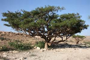 Frankincense is an aromatic resin obtained from the Boswellia tree ... Ayurvedic Treatment