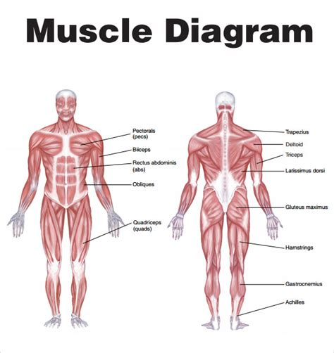 muscle chart templates    sample templates