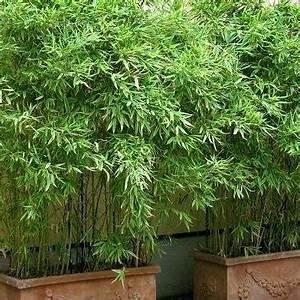 Bambou En Pot Pour Terrasse : 15 plantes brise vue qui vont transformer votre jardin plantes brise vue en pot pour terrasse ~ Louise-bijoux.com Idées de Décoration