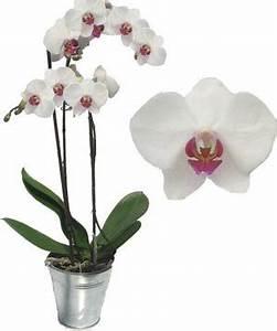 Comment Soigner Une Orchidée : orchid e comment entretenir et faire fleurir une orchid e ~ Farleysfitness.com Idées de Décoration