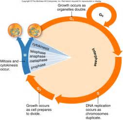 Interphase Cell Cycle Diagram