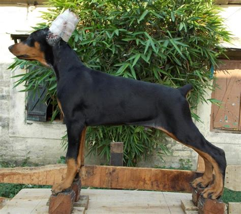 Doberman Puppies For Saleavijit Das  Dogs For Sale Price Of Puppies Do In