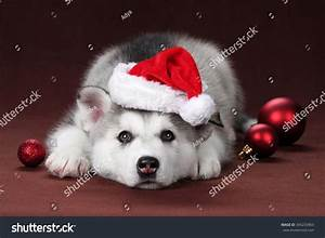 Sad Puppy Siberian Husky In Santa Hat With Christmas Balls ...