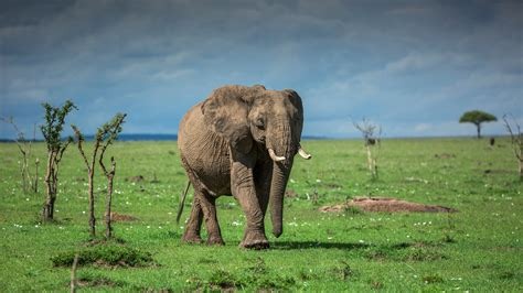 Old Elephant Is On The Grass Field With Cloudy Sky