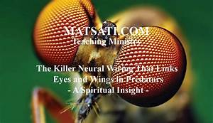 The Killer Neural Wiring That Links Eyes And Wings In