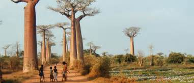 conservation milestone for baobabs in madagascar fauna flora international