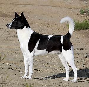 Black And White Canaan Dog Standing Picture
