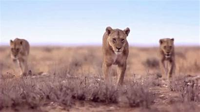 Animated Lion Animals Animal Gifs Lions Wild