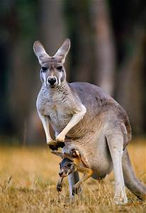 Red Kangaroo Joey In Pouch