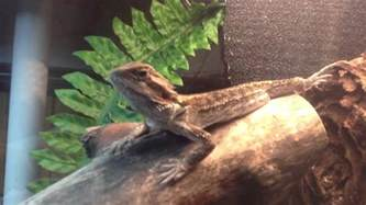 Basking Lamp For Bearded Dragon by Bearded Dragon In Basking Lamp Youtube