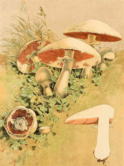 The Project Gutenberg Ebook Of Our Edible Toadstools And