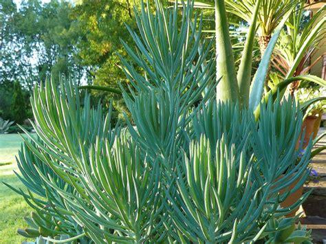 senecio succulent senecio cylindricus narrow leaf chalk sticks world of succulents