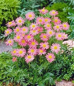 Blumen Winterhart Mehrjährig : stauden margerite rosa laurin von baldur garten auf kaufen ~ Whattoseeinmadrid.com Haus und Dekorationen