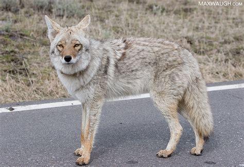 grey and white throw identification throwdown gray wolf vs coyote