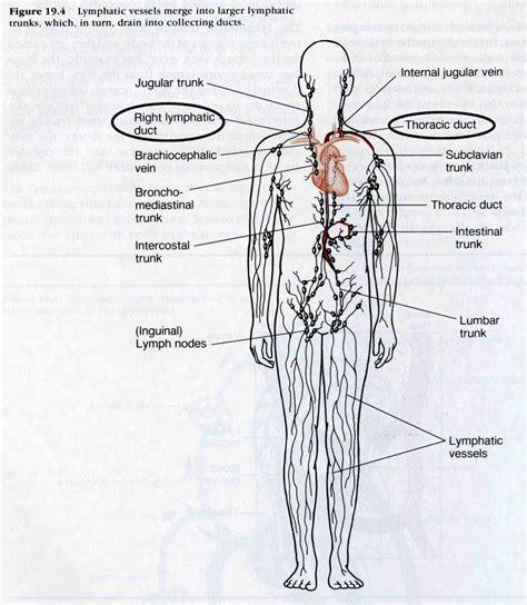 lymphatic system lymph nodes diagram anatomy human