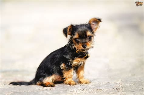 Chorkie Dog Breed Facts Highlights And Buying Advice