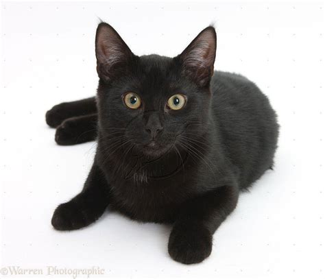 Background Black Cat by Black Cat Backgrounds Wallpaper Cave