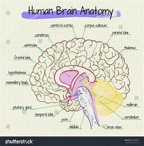 Vector Diagram Anatomy Human Brain Side Stock Vector